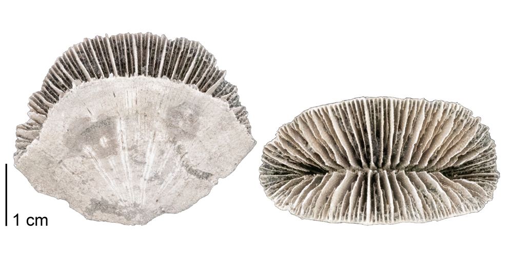 Photographs of the fossil coral Flabellum appendiculatum.