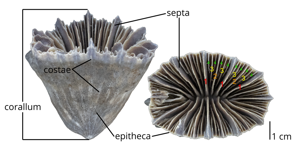 Image showing the morphology (with corallum, costae, epitheca, and septa labeled) of the extant solitary coral Flabellum moseleyi.