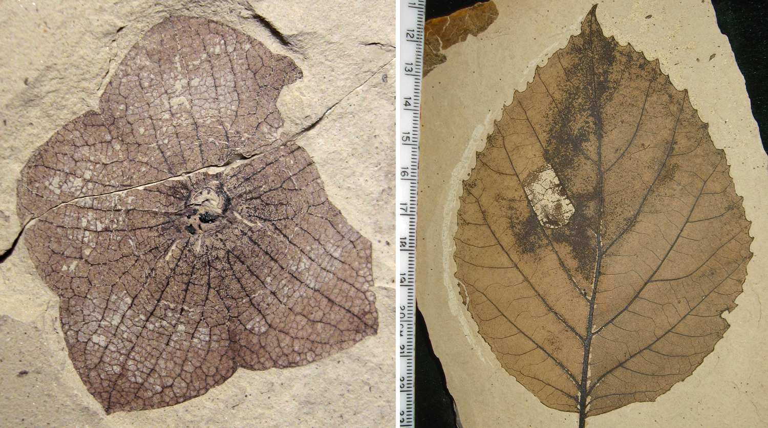 2-Panel figure showing fossil eudicots. Panel 1: 5-parted calyx of Florissantia. Panel 2: Fossil leaf of Langeria showing pinnate venation.