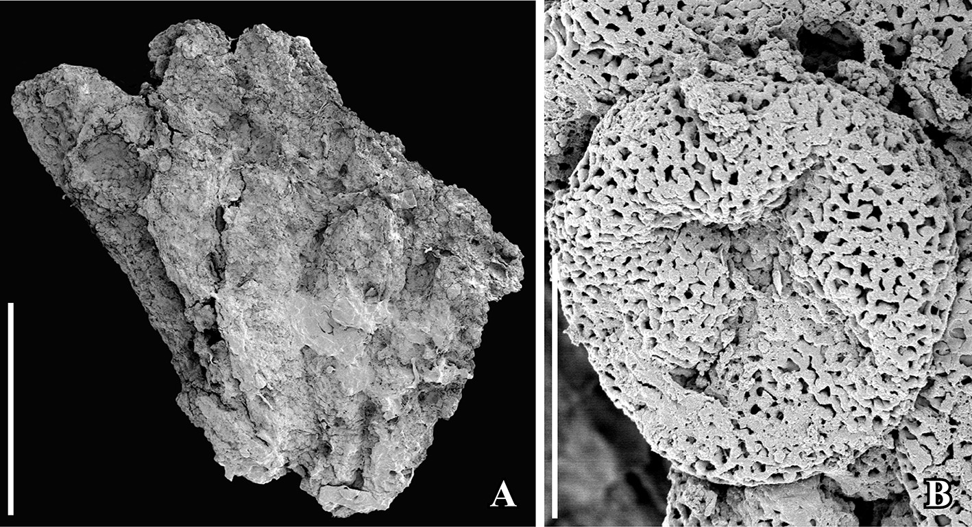 2-Panel figure of fossil Chloranthaceae. Panel 1: Stamens. Panel 2: A pollen grain showing the 4-armed aperture.