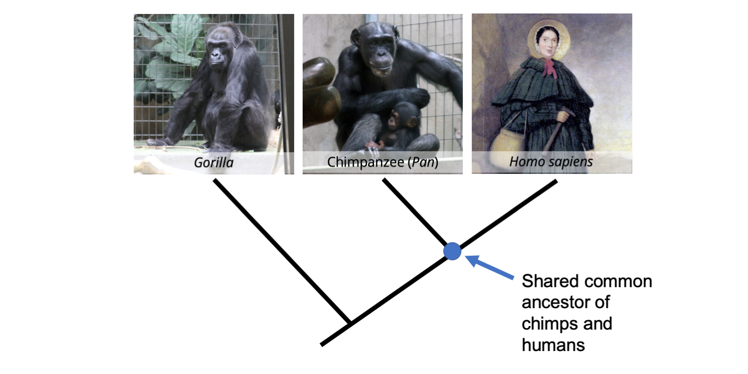 Phylogenetic tree depicting the relationships between a gorilla, chimpanzee, and human.