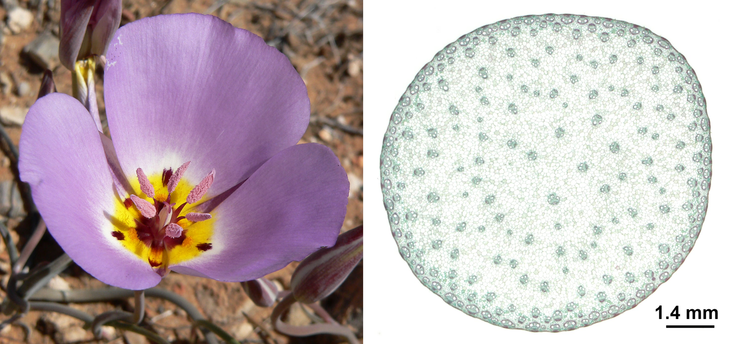 2-Panel figure. Panel 1: Mariposa lily flower showing floral parts in multiples of three. Panel 2: Cross section of a corn stem showing scattered vascular bundles.