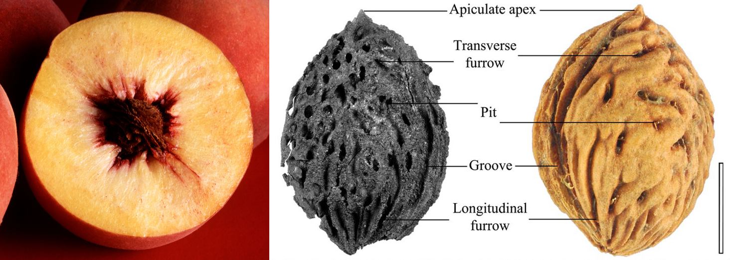 2-Panel figure. Panel 1: A peach sliced to show the fleshy fruit wall and inner pit. Panel 2: Comparison of fossil and modern peach pits.