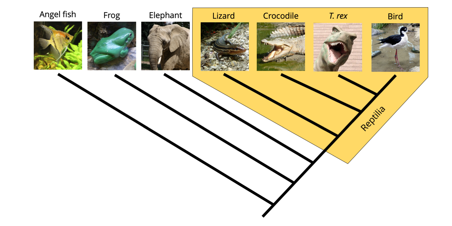 "Phylogeny of vertebrates, with a monophyletic ""Reptilia"" identified that includes birds."