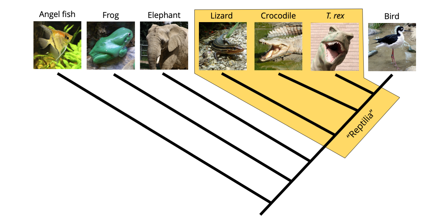 "Phylogeny of vertebrates, with a paraphyletic ""Reptilia"" identified that excludes birds."