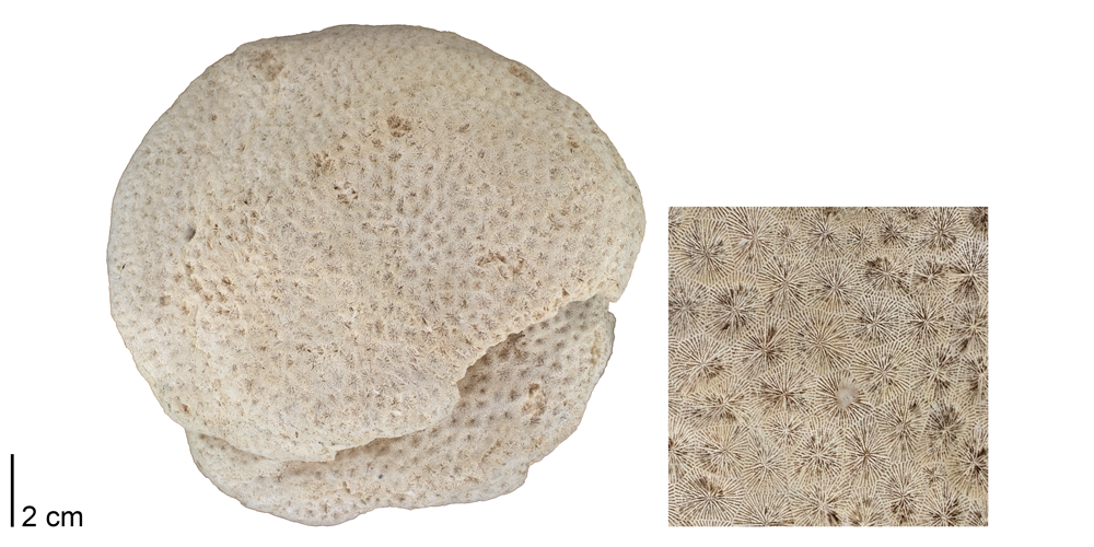Photographs of the fossil coral Siderastrea.