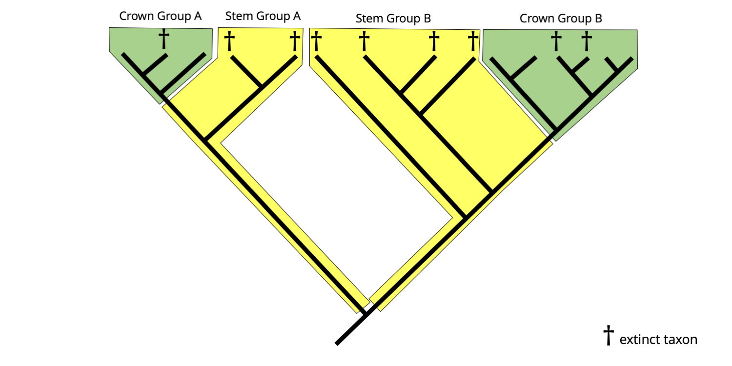 Example of a hypothetical phylogenetic tree with both crown group and stem group clades identified.