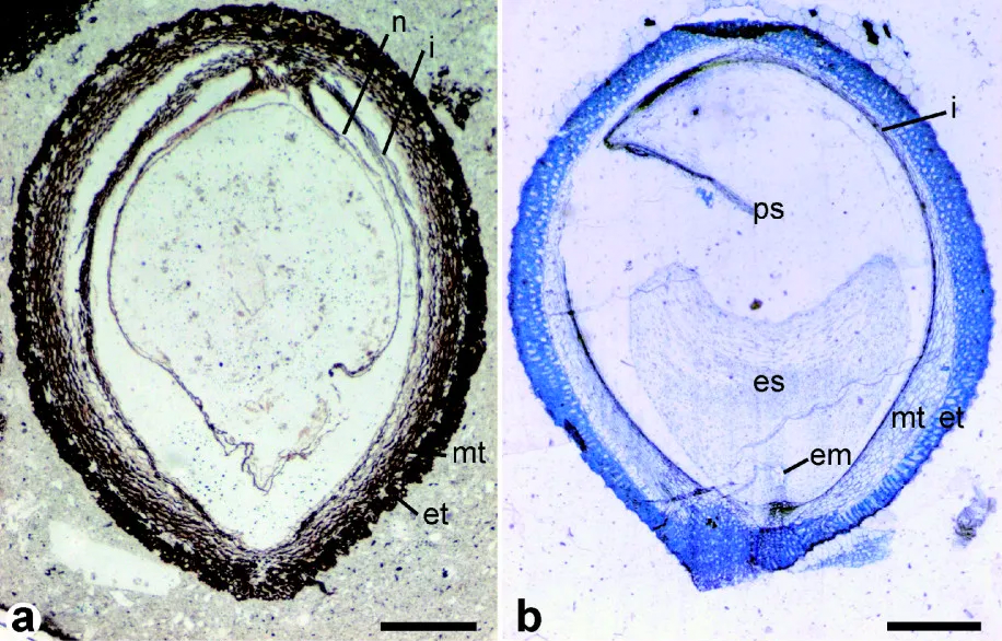 2-Panel figure showing longitudinal sections of seeds. Panel 1: Trimenia-like fossil seed. Panel 2: Trimenia seed.
