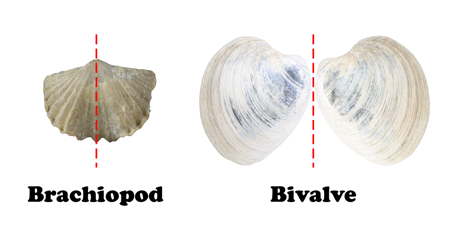 Brachiopod and bivalve symmetrical differences