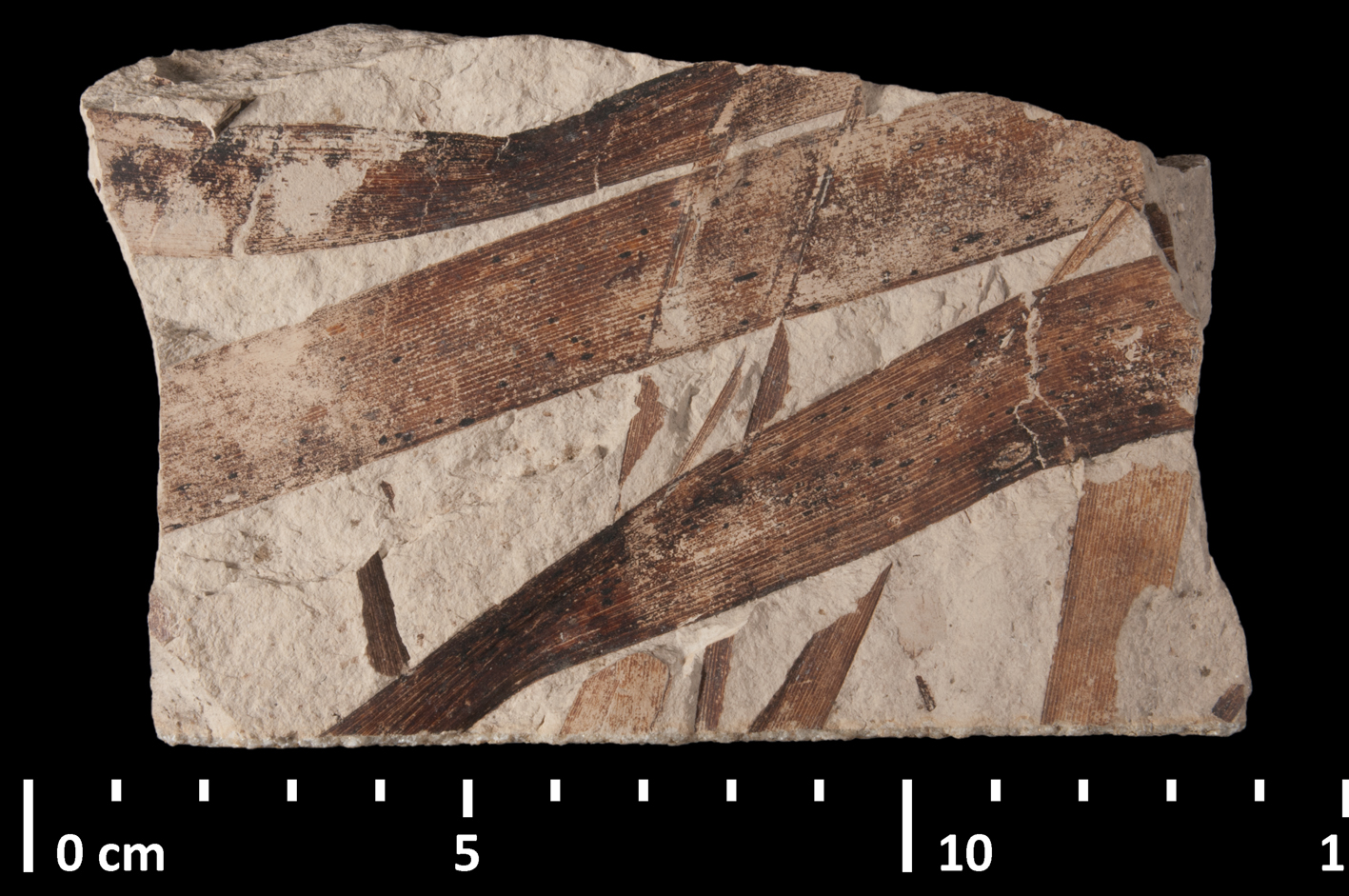 Fossil cattail leaves showing parallel arrangement of major veins from the Miocene of France.