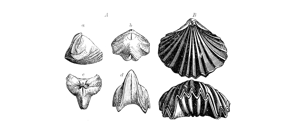 Examples of brachiopods with coarse ribbing
