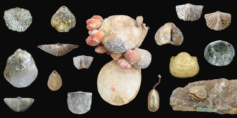 Examples of modern and fossil brachiopod shells