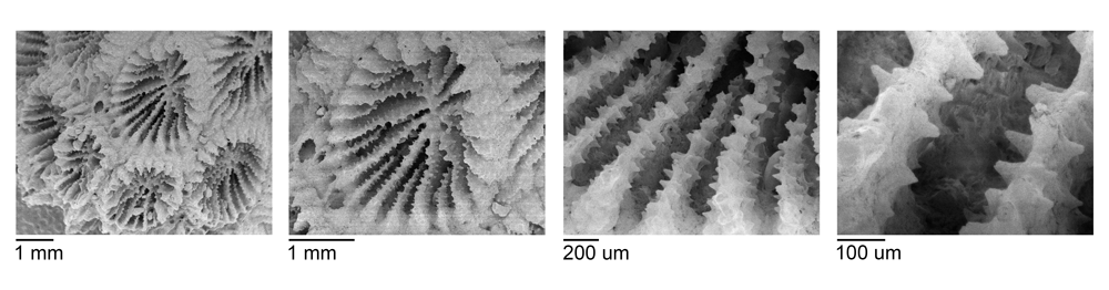 Image that shows SEM photos of coral micromorphological features.