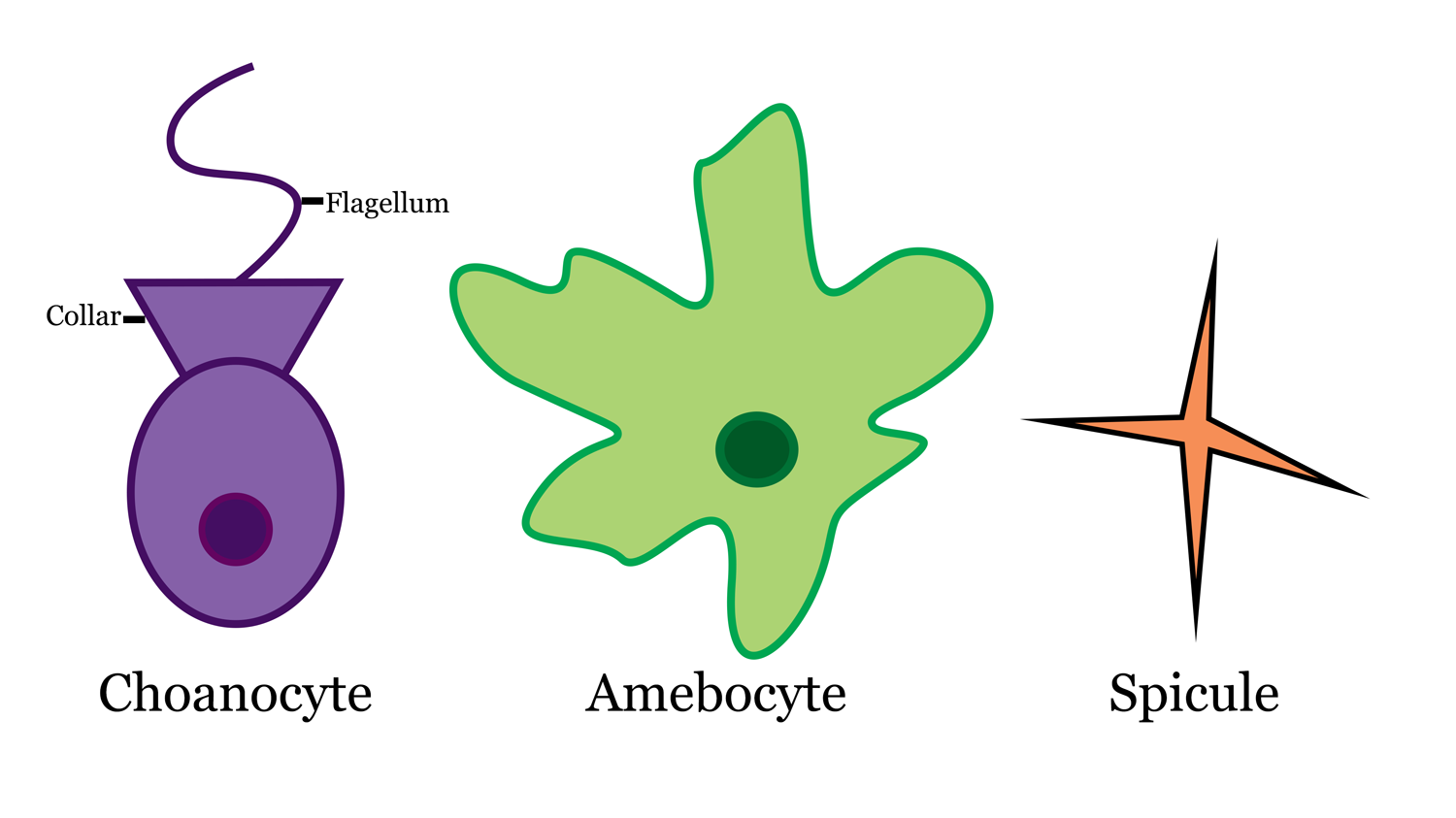 Diagram of sponge cells (choanocyte and amebocyte) and spicule