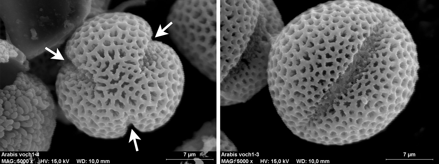 2-Panel figure of tricolpate pollen grains of Arabis (rockcress). Panel 1: Polar view in which 3 apertures are visible. Panel 2: Equatorial (lateral) view showing one slit-like aperture.