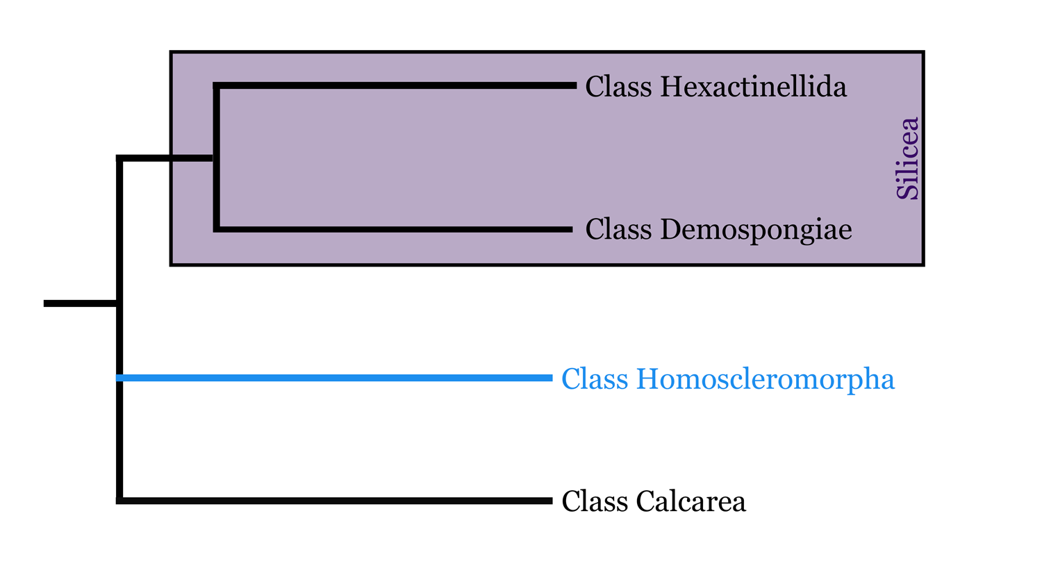Diagram of class Homoscleromorpha phylogeny