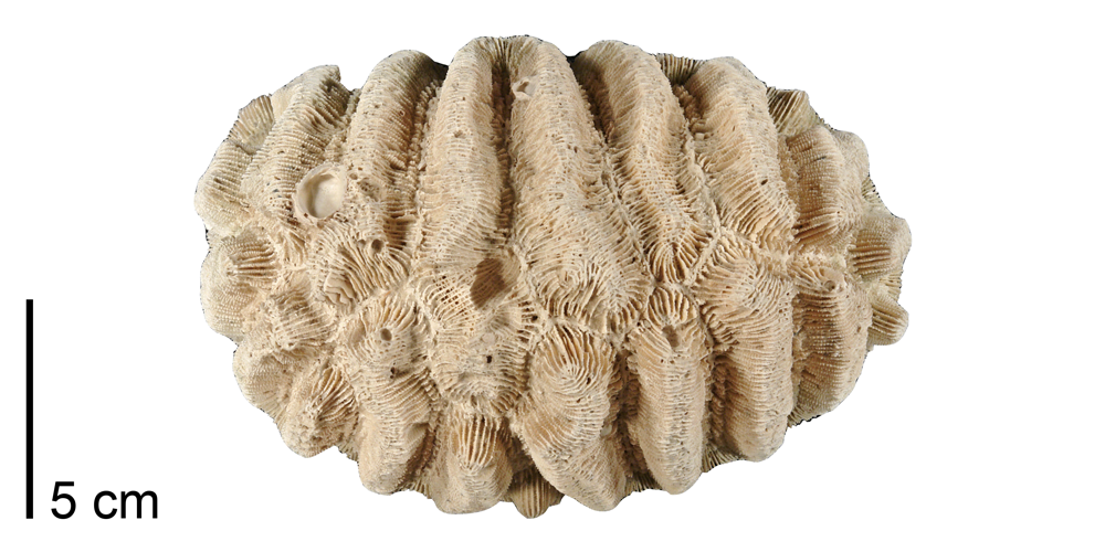 Photograph of a fossil of the colonial coral Manicina areolata.