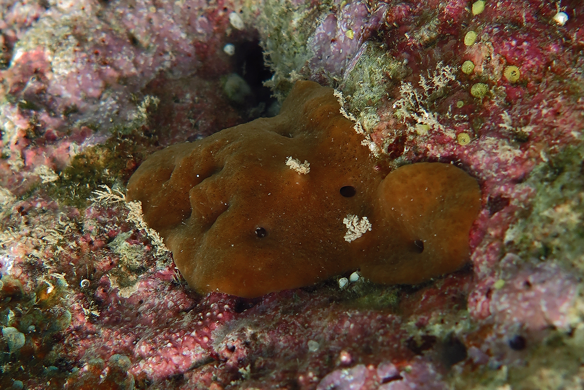 Photograph of a Homoscleromorph sponge, Plakortis sp.