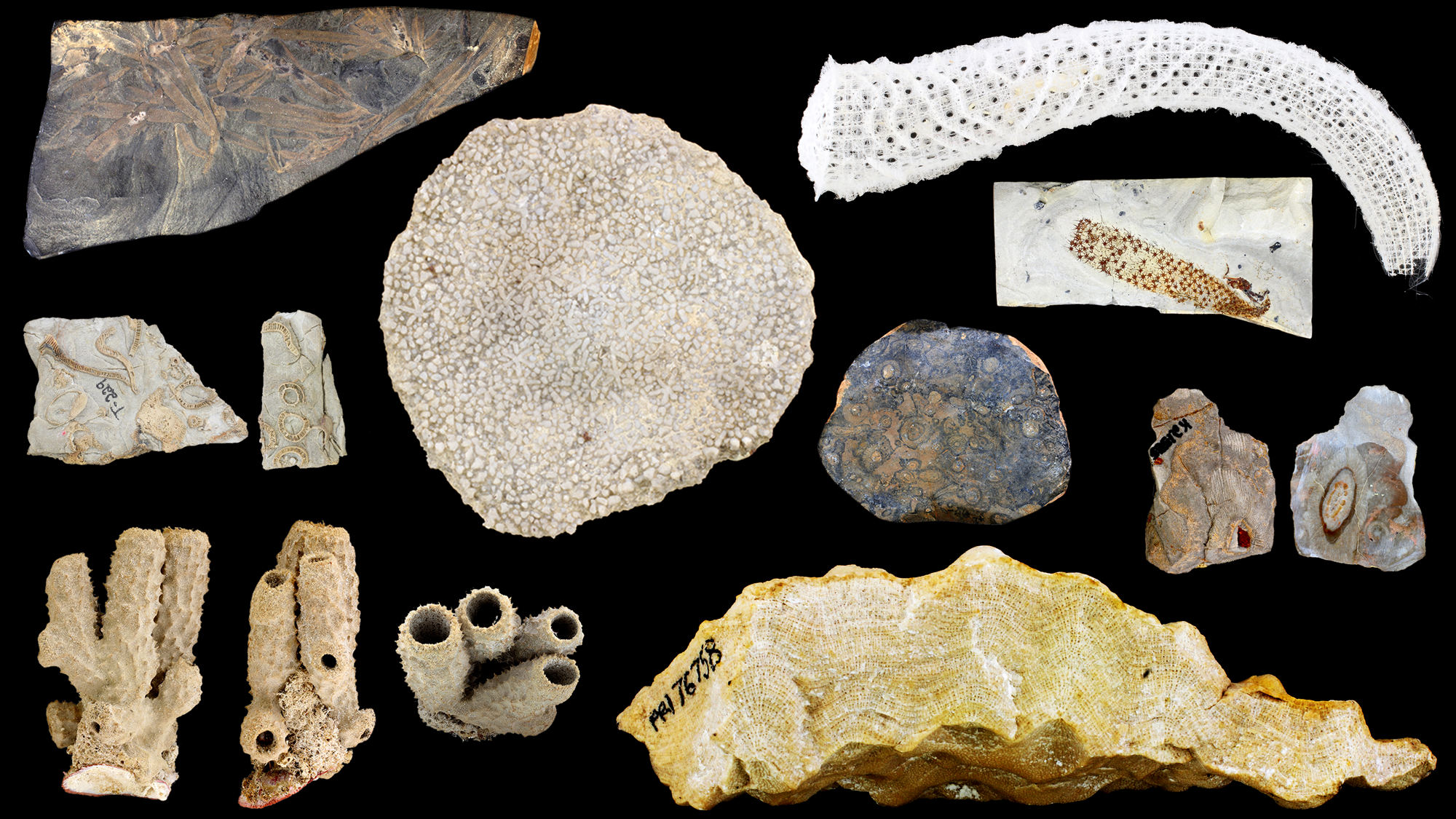 Image of a variety of modern and fossil sponges