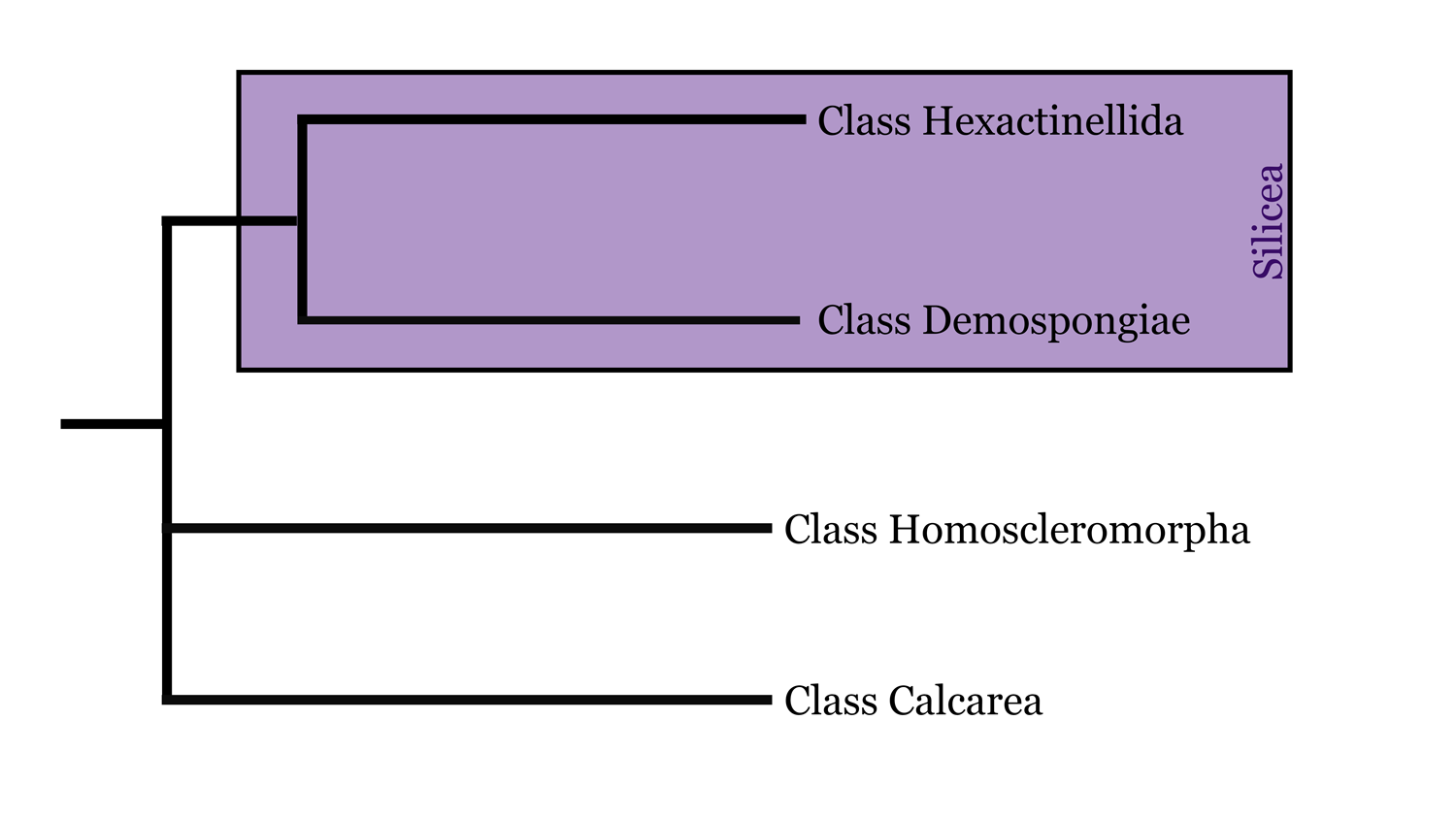 Diagram of Porifera phylogeny