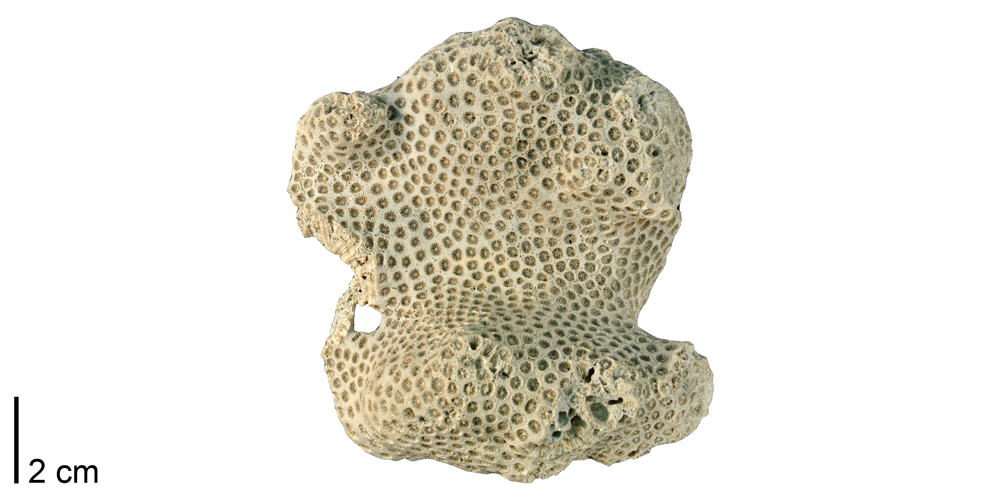 Photograph of a fossil specimen of the colonial coral Solenastrea hyades.