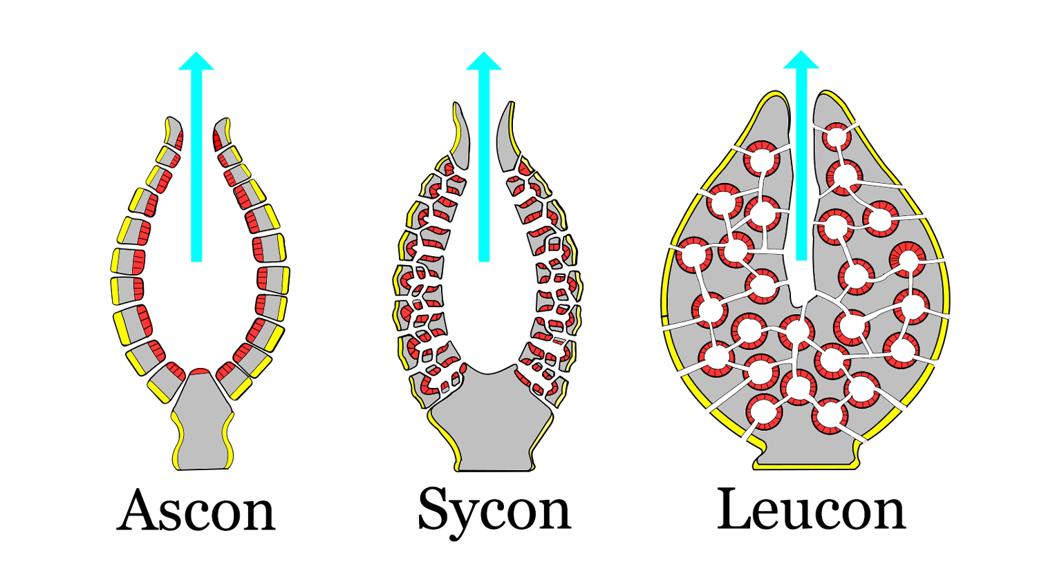 Diagram of sponge body plans of increasing complexity; ascon, sycon, leucon