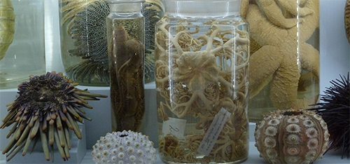 Modern echinoderms preserved in jars with echinoid tests on display