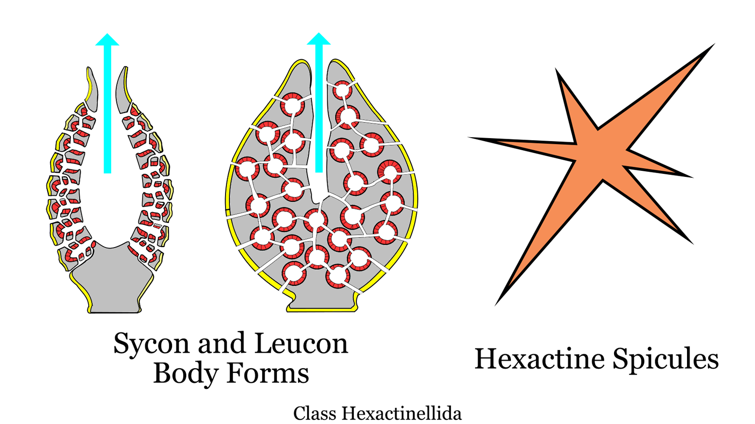 Diagram showing Hexactinellida body plan and spicules