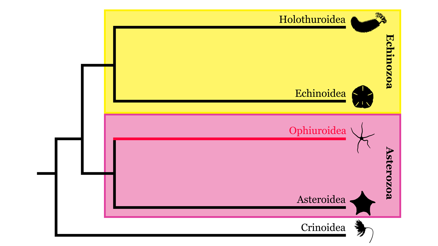 Image of Echinodermata phylogeny, highlighting where Ophiuroidea sits