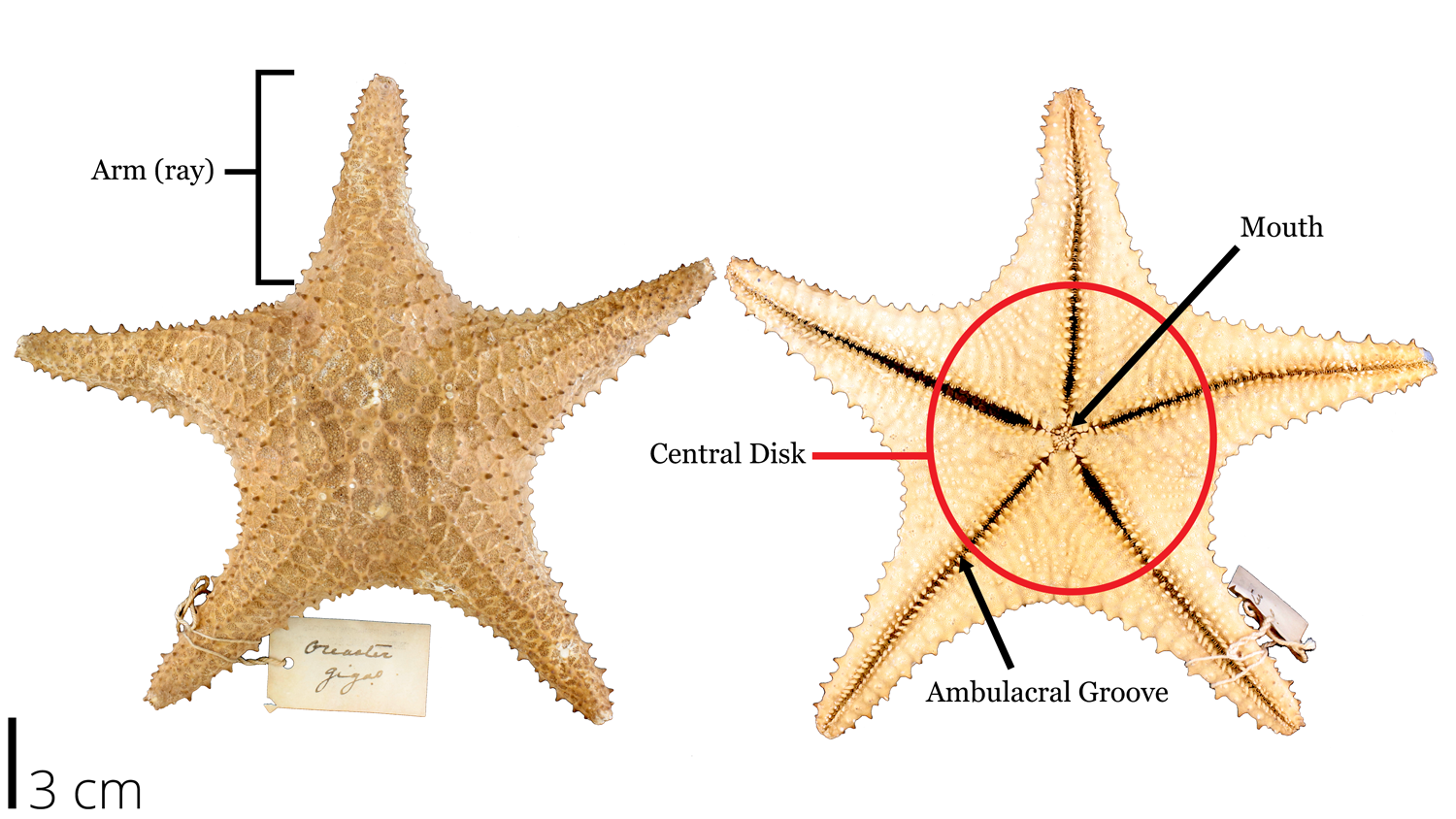 Image of a recent dried out sea star with labelled morphology