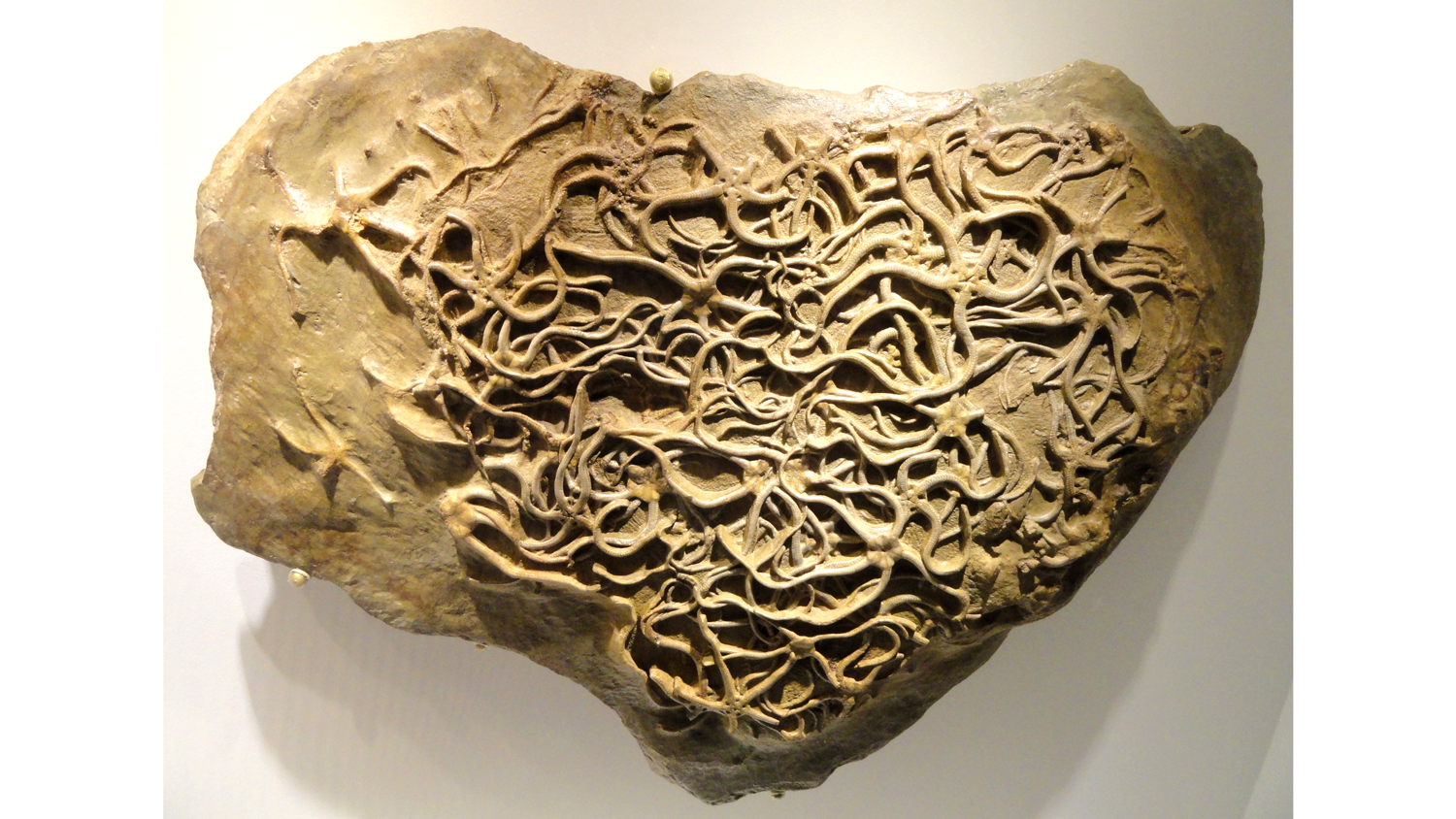 Photograph of Paleocoma egertoni brittle stars from the Jurassic of England