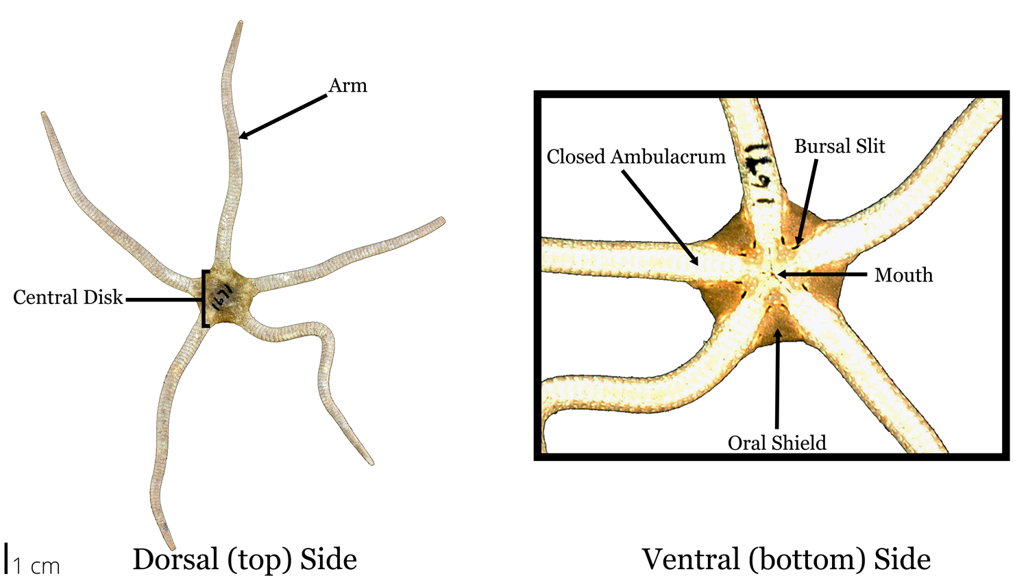 Photograph of a brittle star specimen with labelled morphology