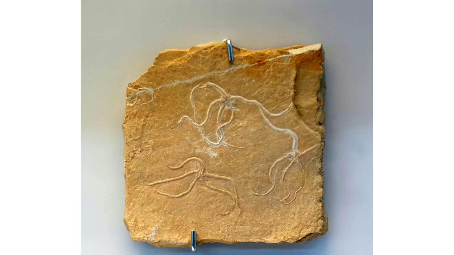 Photograph of Sinosura kehlheimense brittle stars on display at the Naturhistorisches Museum Nürnberg in Nuremberg, Germany