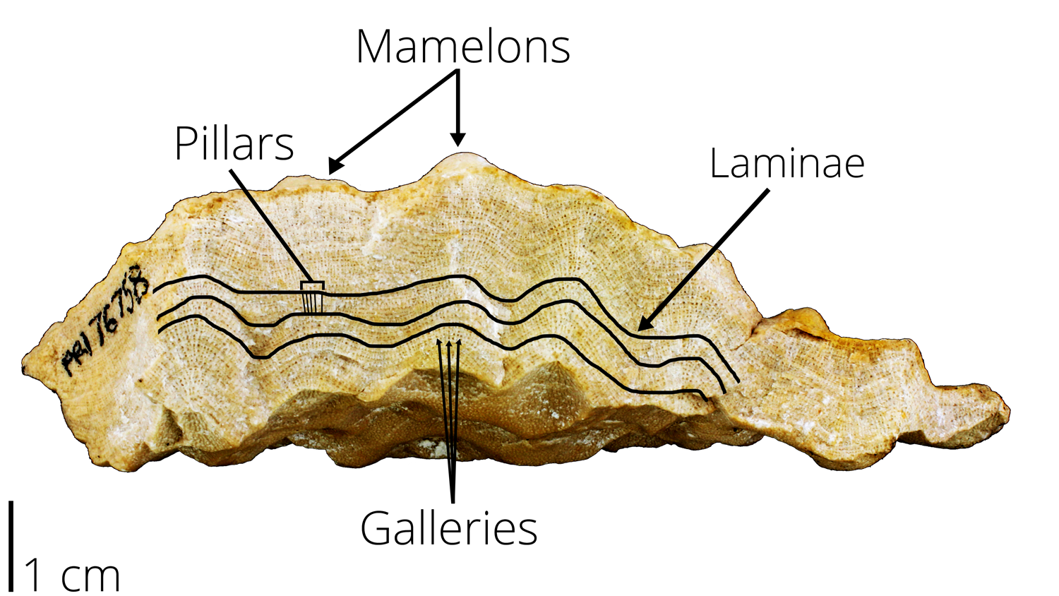 Diagram showing stromatoporoid features, including pillars, mamelons, galleries, and laminae