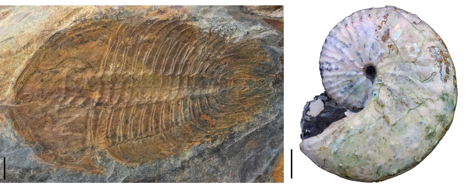 Photographs of trilobite and ammonite fossils.