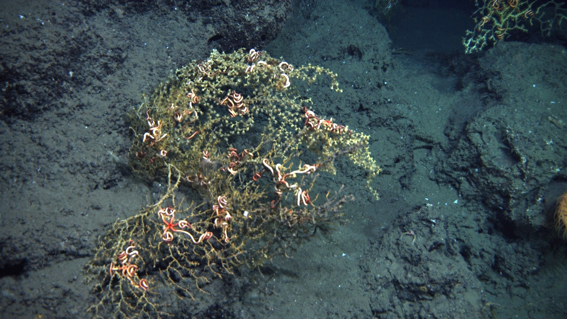 Photograph of deep-sea corals full of brittle stars, but surrounded by an area covered in floc from the Deepwater Horizon oil spill