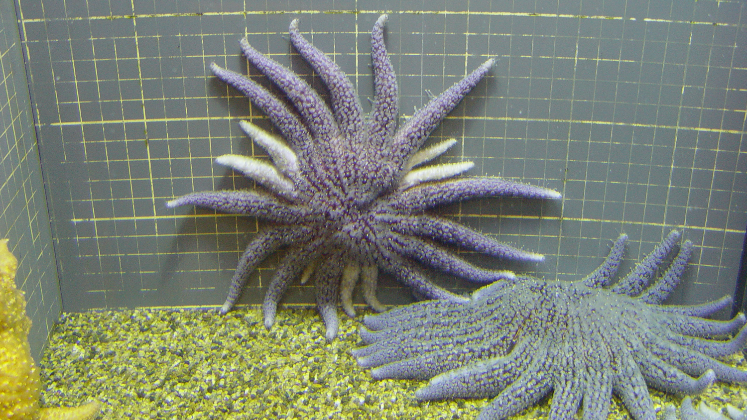 Photograph of a sea star regenerating at least seven arms