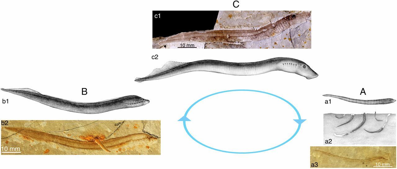 Image showing the life cycle of a fossil lamprey from the Cretaceous of Mongolia.