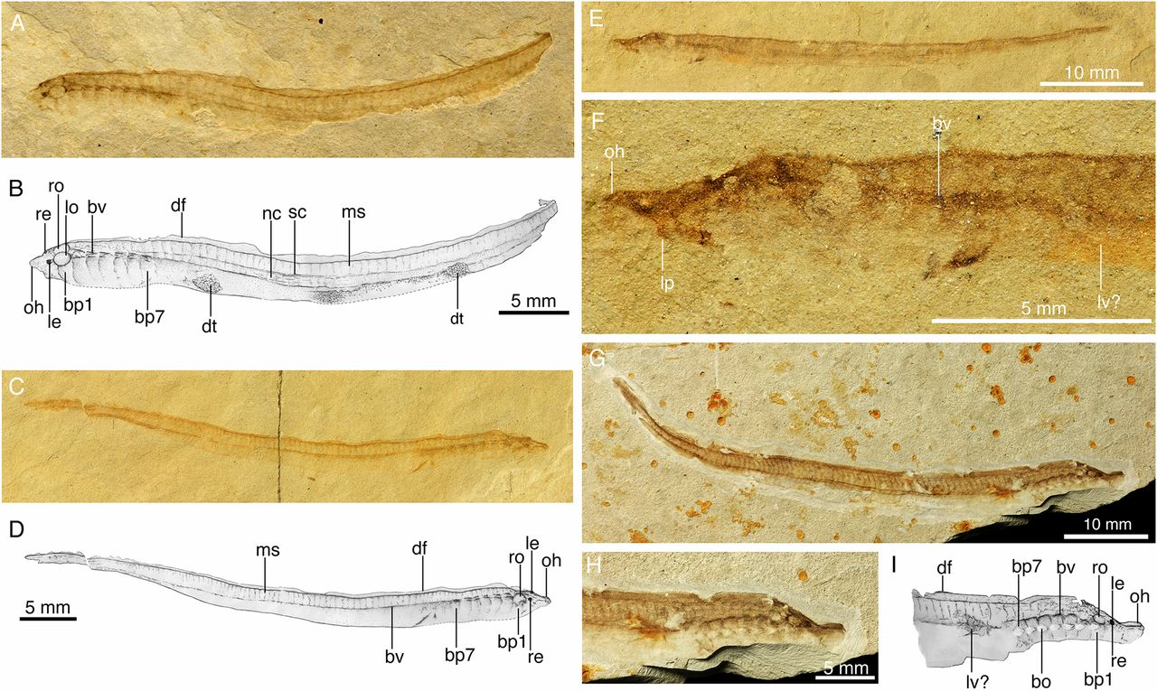 Photograph of fossil lamprey from the Cretaceous of Mongolia.