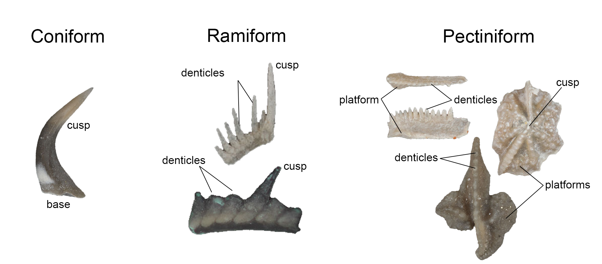 Image showing the basic types of conodont elements.