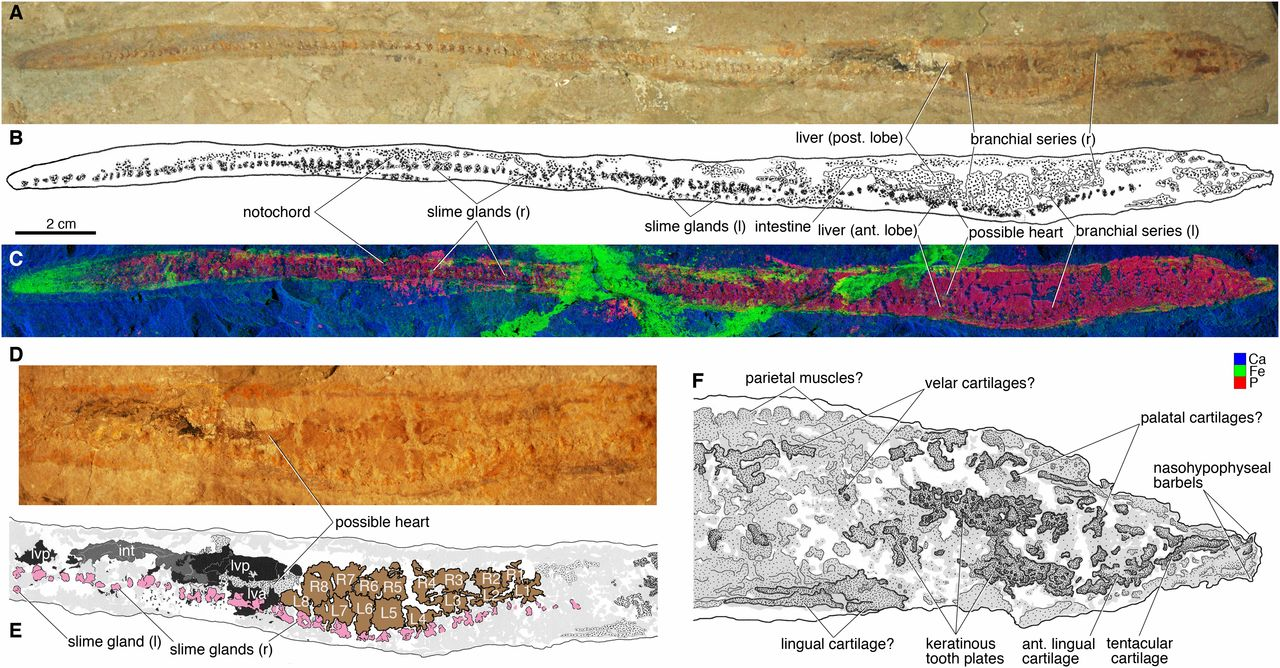 Images of a fossil hagfish from the Cretaceous of Lebanon.