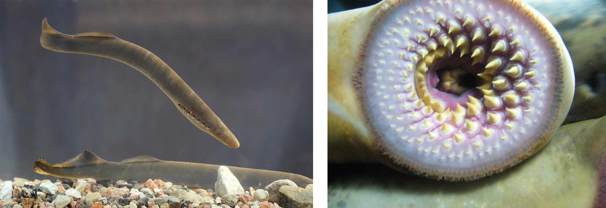 Photographs of lampreys.
