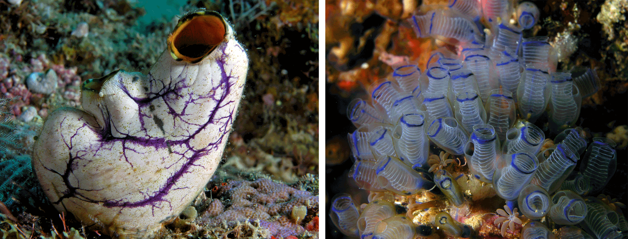 Two photographs of modern tunicates.