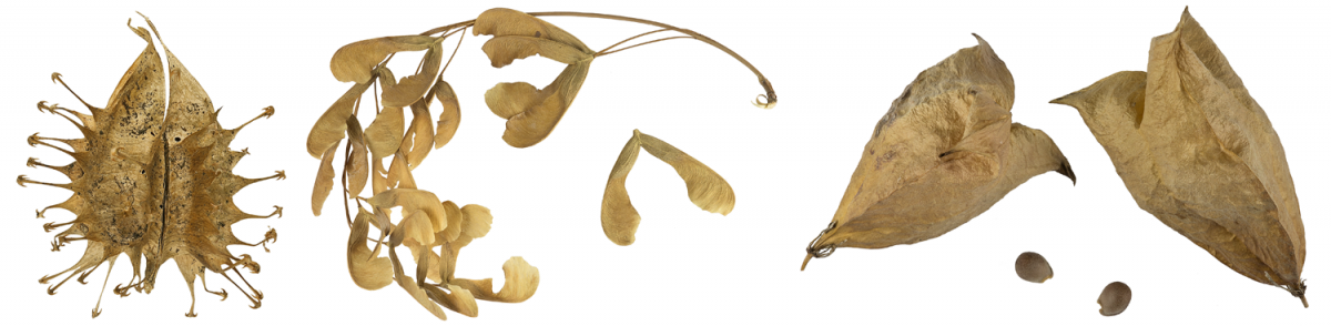 Dry fruits showing different means of dispersal: Leaf: Spines for adherence. Center: Wings for wind dispersal. Right: Inflated capsules for water dispersal.