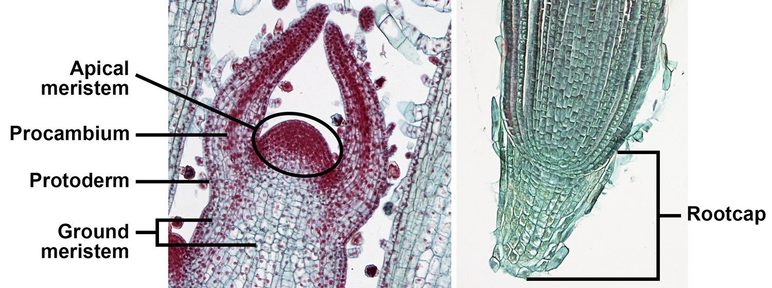 2-Panel photographic figure showing shoot and root tips in longitudinal section. Panel 1: Shoot apex of coleus with apical meristem and primary meristems labelled. Panel 2: Root tip of wheat with rootcap labelled.