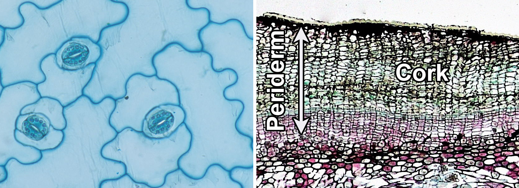 2-panel photographic figure. Panel 1: Surface view of epidermis of kalanchoe showing epidermal cells and stomata. Panel 2: Cross section of birthwort periderm, showing thick cork.