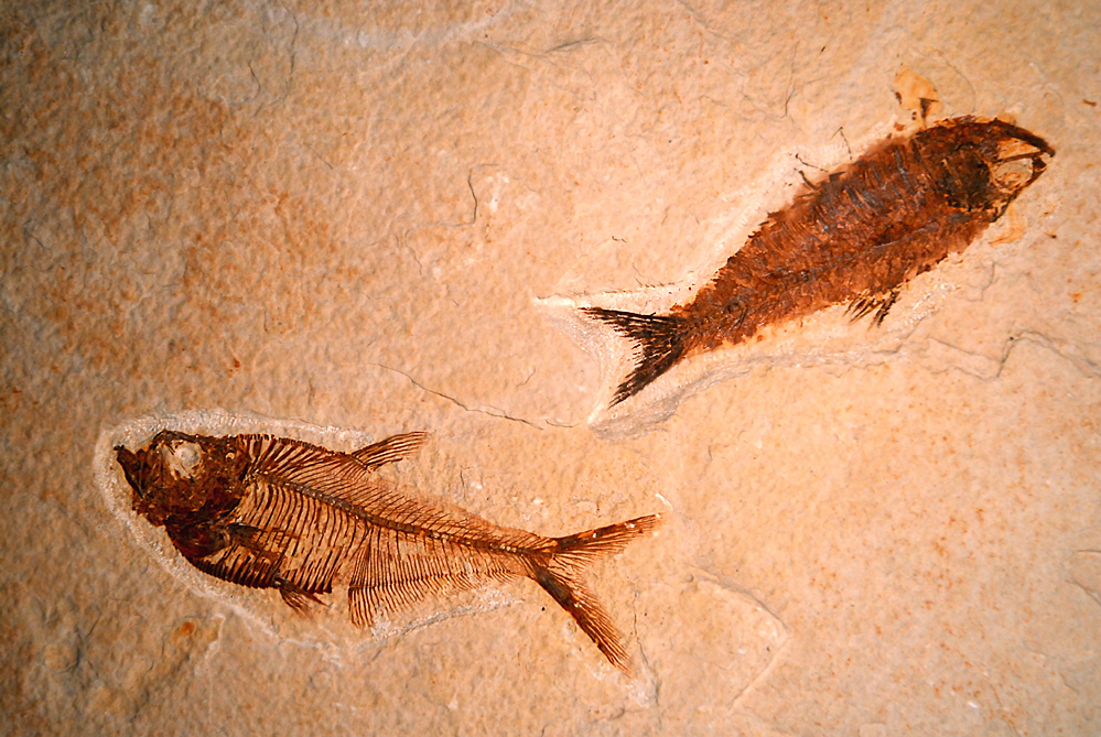 Fossil fish from the Green River Formation