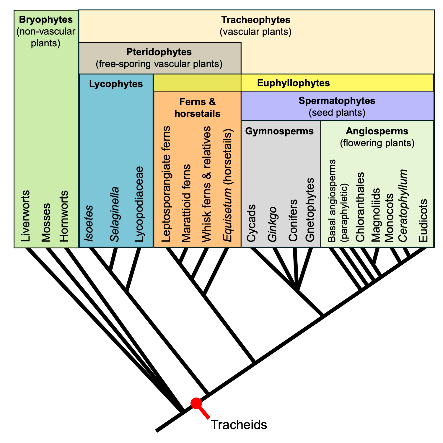 Diagram of a phylogenetic tree showing relationships among major living groups of vascular plants.