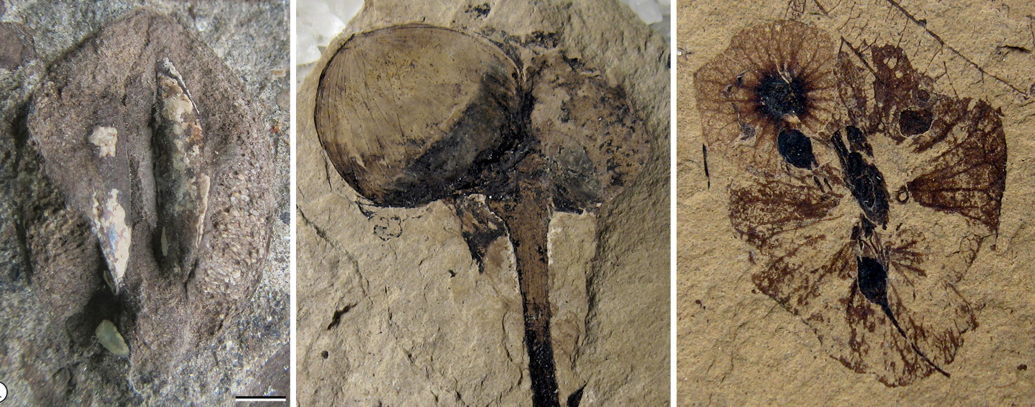 3-Panel photo figure. Panel 1: Fossil cornalean endocarp, possible dispersal by ingestion. Panel 2: Fossil hazelnuts, dispersal by caching or hoarding. Panel 3: Fossil fruits with wings, dispersal by wind..