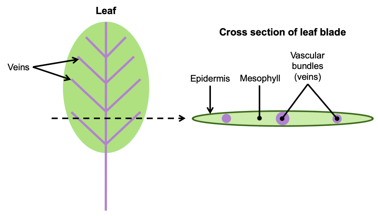 2-part figure. Part 2: Diagram of a leaf with veins labelled. Part 2: Leaf blade in cross section with epidermis, veins, and mesophyll labelled.